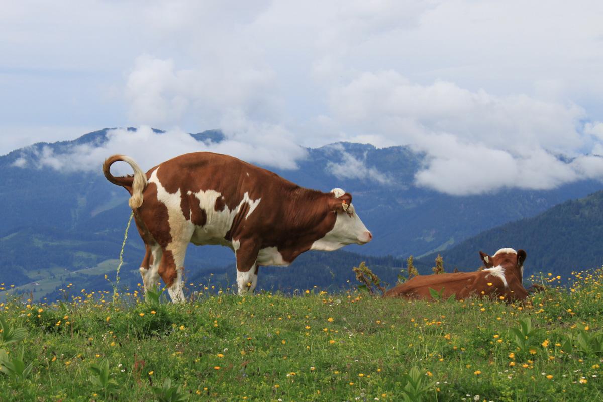 Zwei Kühe auf der Alm.