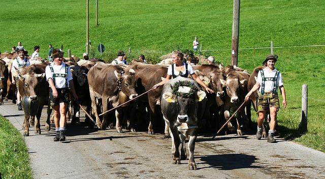 Typischer Viehscheid im Allgäu