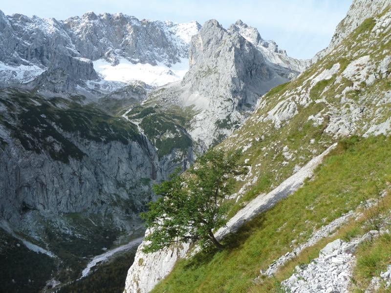 Einsamer Ahorn am Waxenstein: bessere Aussicht als vom AlpspiX, weniger los