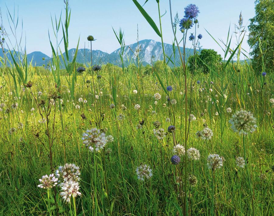 Idyll am Kochelseee: Moorwiese mit Teufelsabbiss und wildem Lauch