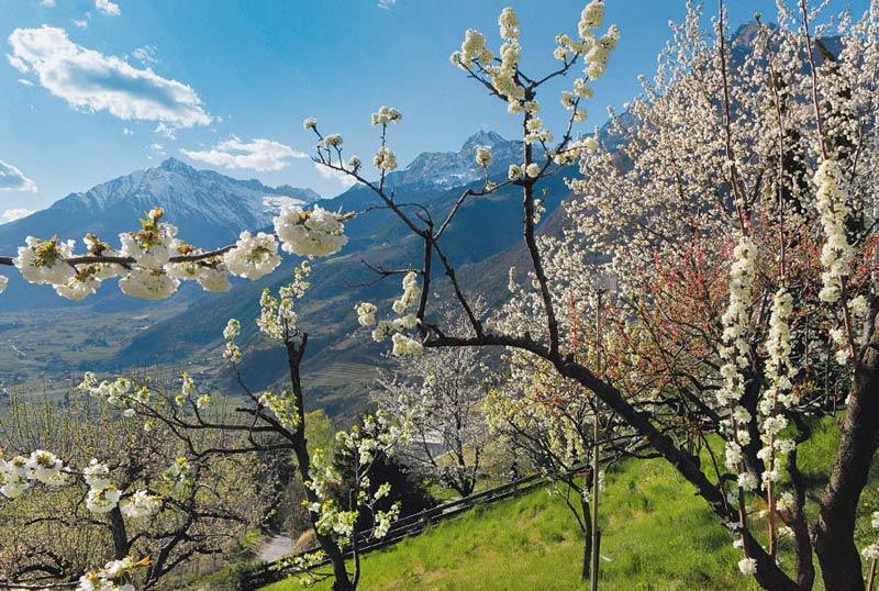 Mit der Apfelblüte hält der Frühling Einzug in die Region um Schenna.