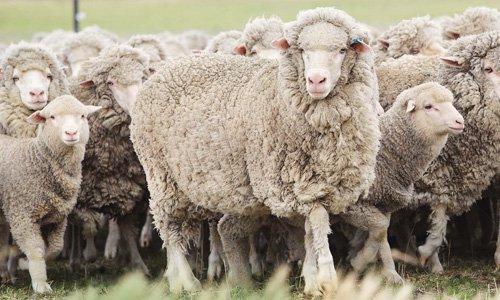 Edler Rohstoff : Etwa vier bis fünf Kilogramm Wolle produziert ein Merinoschaf im Jahr.