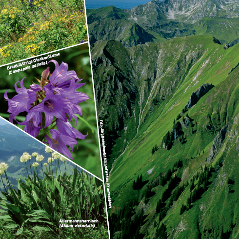 An den Allgäuer Steilgrasbergen wächst nicht nur Gras – an der viergipfeligen Höfats wurden 400 Pflanzenarten gezählt. Foto: Jörg Bodenbender, Michael Wecker (Pflanzenbilder)
