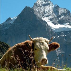 Gut hat's die Kuh: ein Sommertraum auf der Alp – und das Wetterhorn schaut zu…