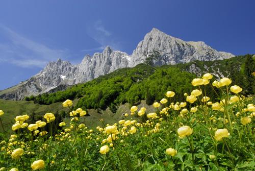 Das gelbe Trollblumenmeer unter den Gipfeln des Ostkaisers.